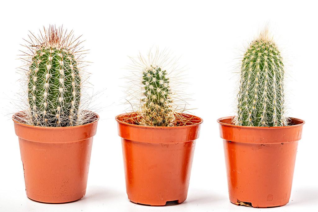 Three cactus in pots on white