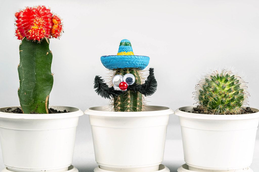 Three cactus in white flower pots