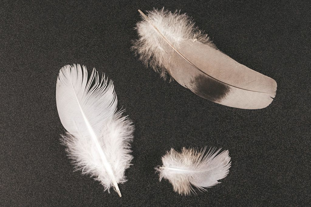 Three pigeon feathers on a black background