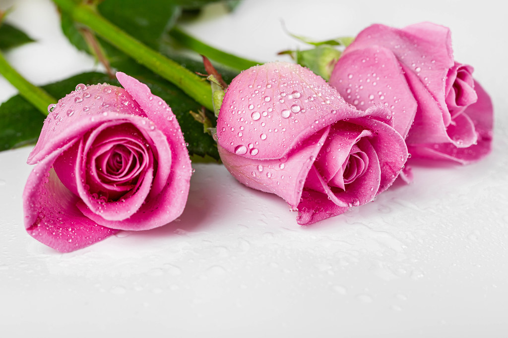 Three pink roses with water drops on a white background
