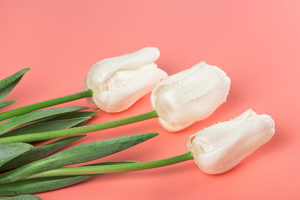Three white tulips with green leaves on a pink background