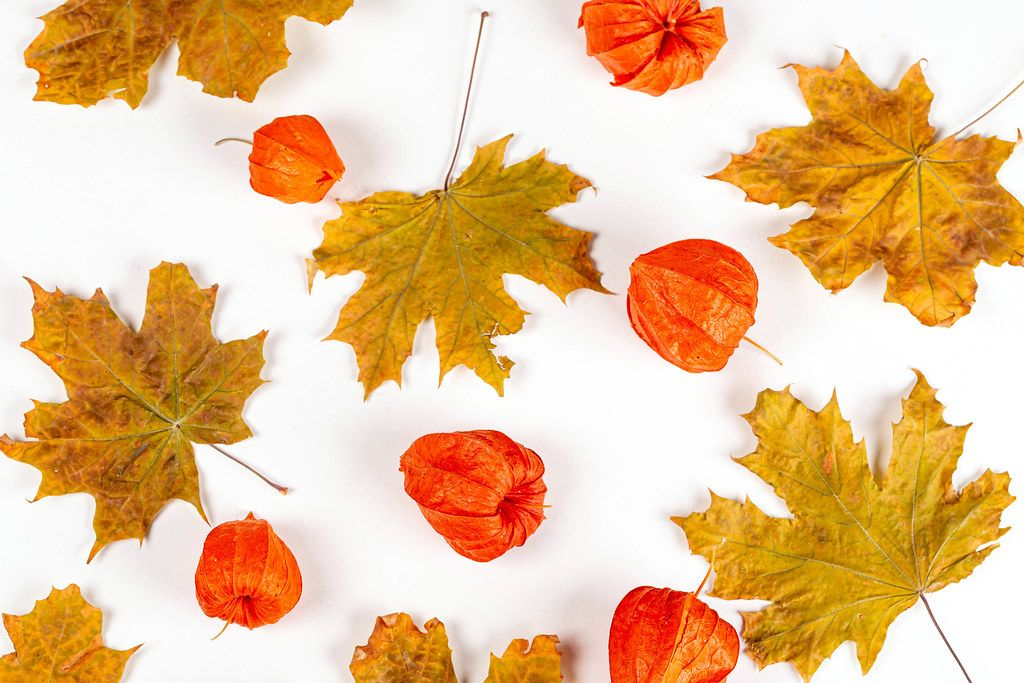 Top view of physalis and autumn maple leaves on white background