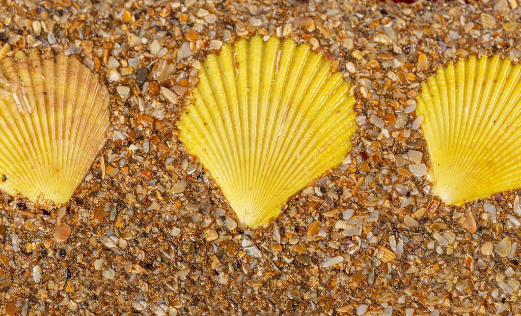Top view, three yellow seashells on the coast