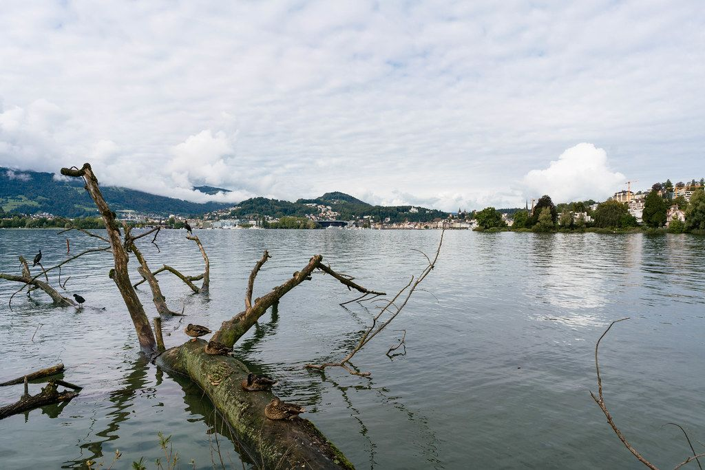 Tree in the water at Lido Wiese park in Lucern, Switzerland