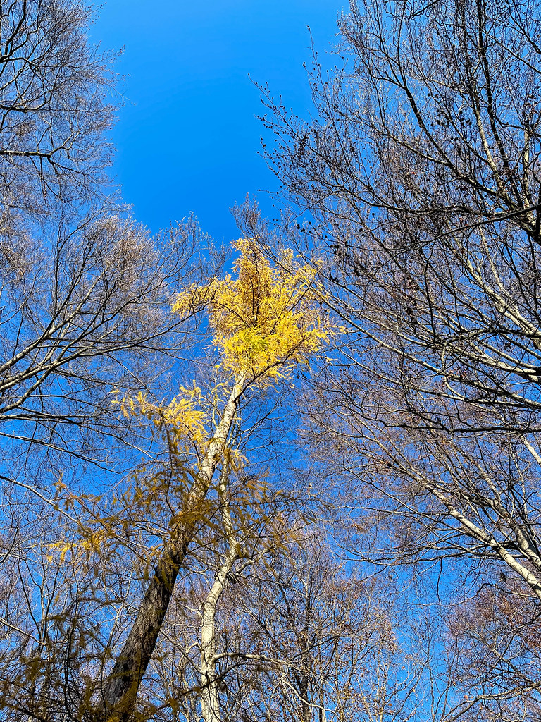 Tree with yellow leaves surrounded by trees with bare branches against the blue sky in Cologne