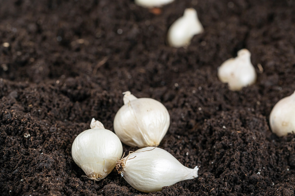 White small onion on soil background