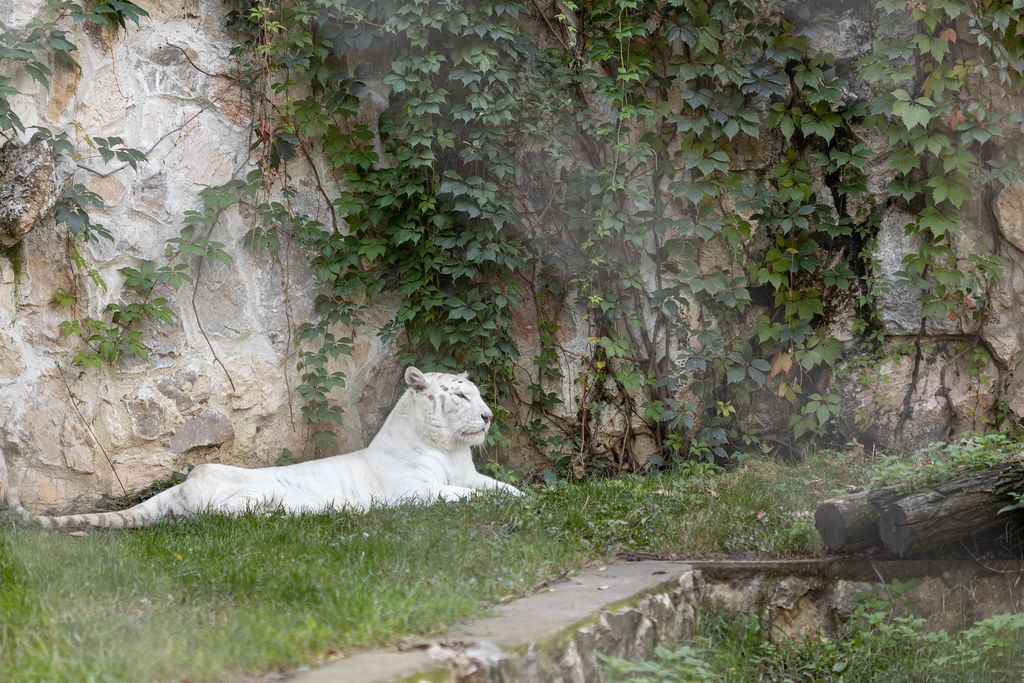 White Tiger laying on the grass in the zoo garden