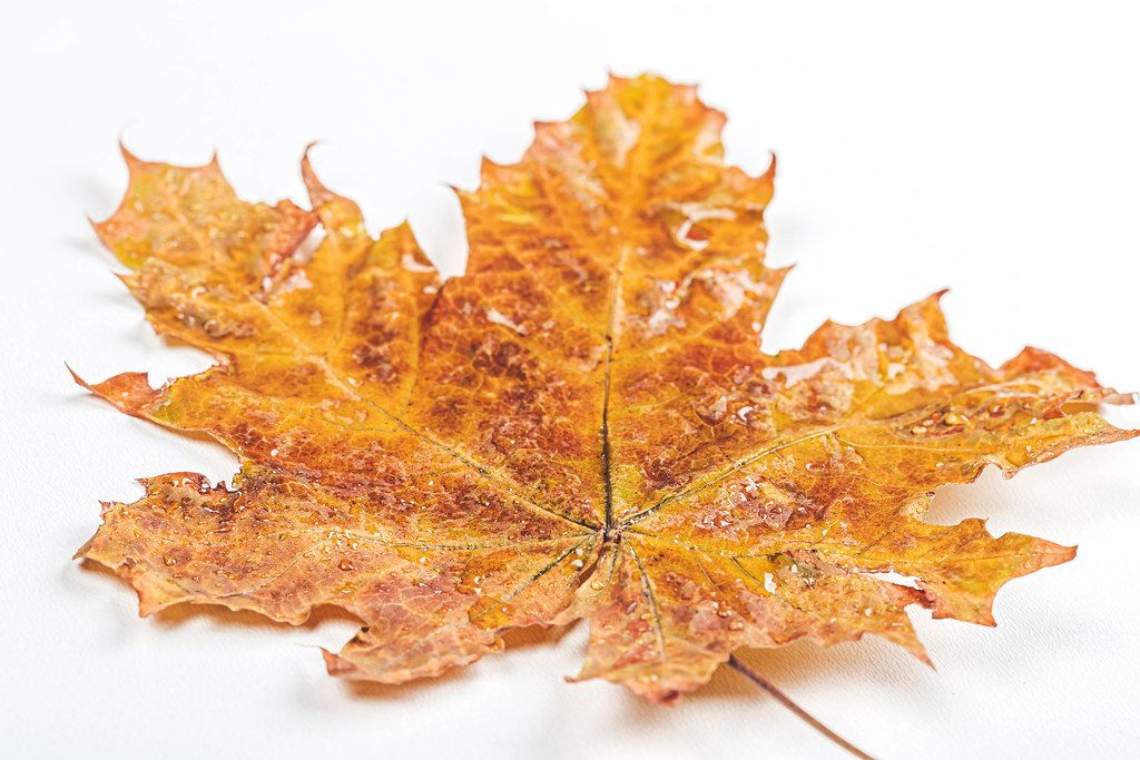 Yellow maple leaf with water drops on white background