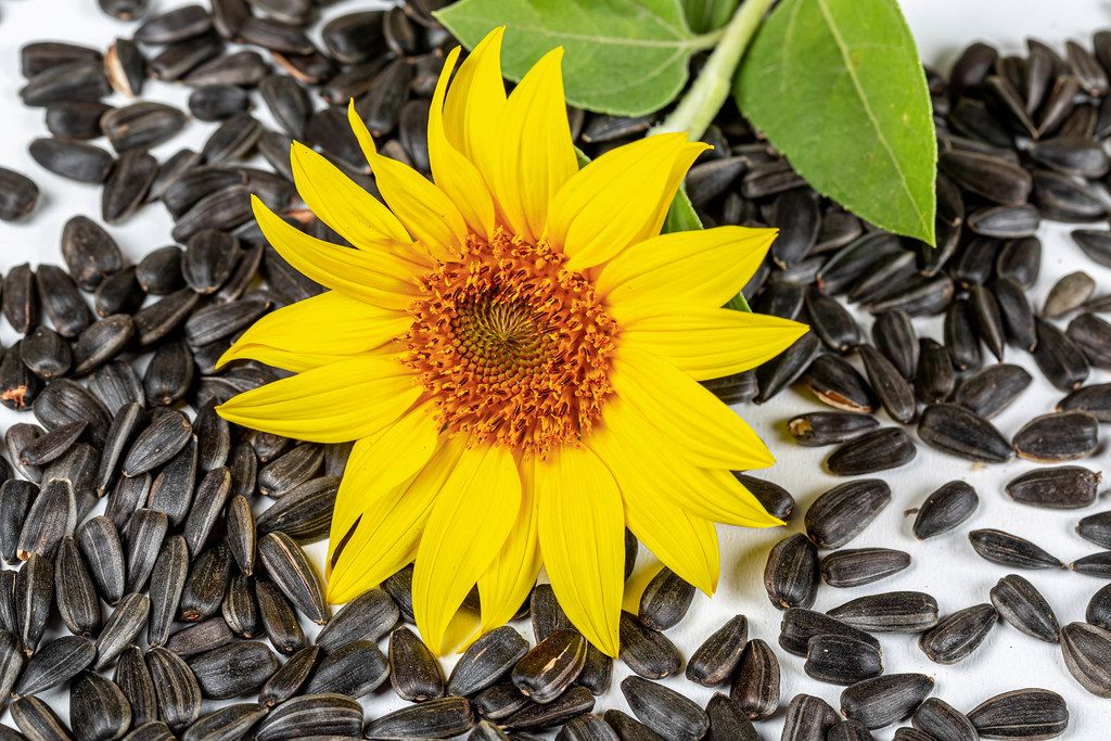 Yellow sunflower and sunflower seeds