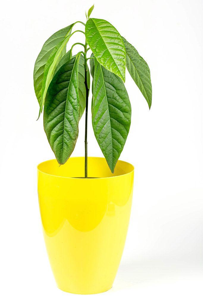 Young avocado tree in yellow flowerpot