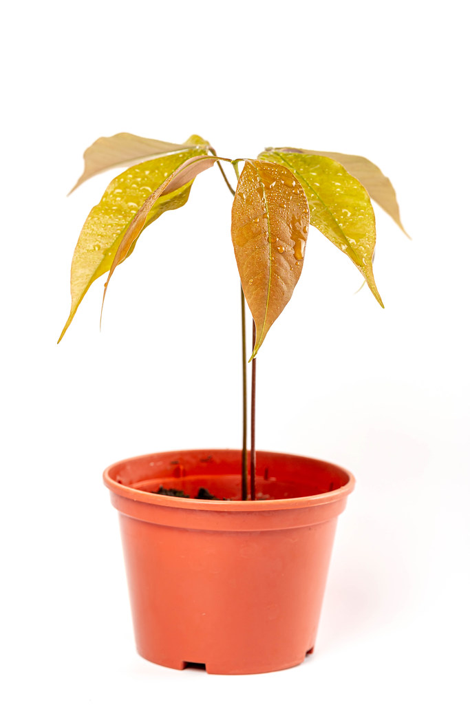 Young lychee sprout in pot, white background