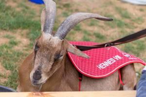 1. FC Köln mascot Hennes VIII. Real goat