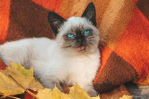 A beautiful blue eyed young cat lies on a red plaid and autumn maple leaves (Flip 2019)