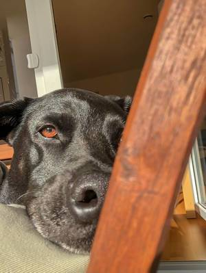 A black labrador resting its head on a chair looking into the camera