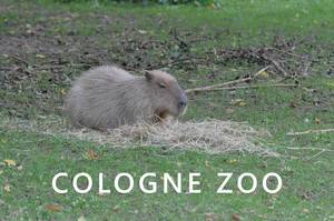 A Capybara sleeps on straw on a green meadow, above the photo title Cologne Zoo