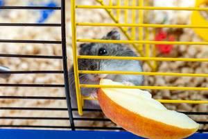 A hamster eating slice of Apple inside his cage (Flip 2019)