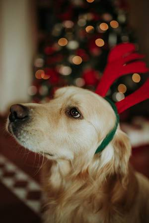 A labrador retriever with the reindeer antlers headband   Flip 2019