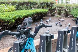 A pigeon takes some rest on the handlebar of a rental bike parked at a docking station in Downtown Chicago
