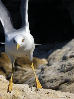 A seagull taking off from the rock on the beach of the Black sea, Crimea