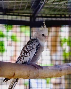 A small cockatiel sitting on a branch (Flip 2019)