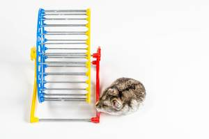 A small hamster and a wheel on a white background
