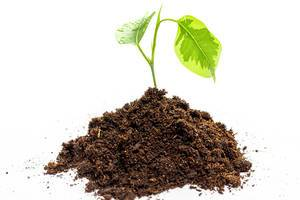 A small tree sprouts from the soil on a white background. The concept of development, life