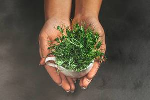 A woman holds a Cup with fresh pea sprouts on a dark background