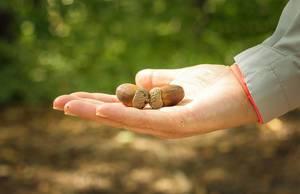 Acorns in hand