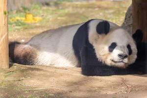Adorable Sleeping Panda Bear ShinShin in Uedo Zoo