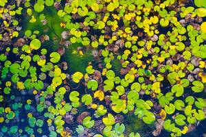 Aerial view of water lilies seen from drone, autumn (Flip 2019)