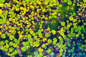 Aerial view of water lilies seen from drone, autumn