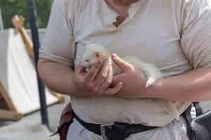Albino-Frettchen in den Händen
