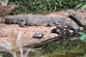 Aligator und Schildkröten
