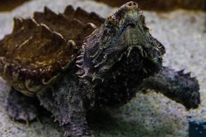 Alligator-Schnappschildkröte, auch Geierschildkröte genannt, im Tropicarium in Budapest