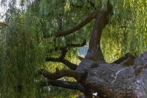 Alter horizontal wachsender Baum