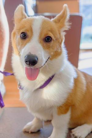 An energetic corgi looking directly at the camera (Flip 2019)