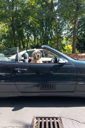 Golden Retriever driving a car