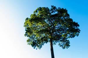 Apex of a pine tree