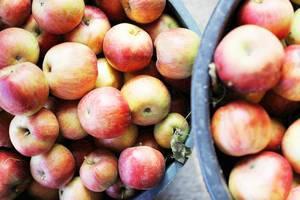 Apfelernte im Herbst: Bio-Äpfel in Eimer in obene Aufnahme