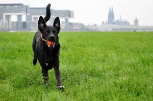 Apportierender Hund vor dem Kölner Dom