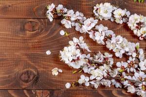 Aprikosenzweig mit Blüten auf einem Holzuntergrund