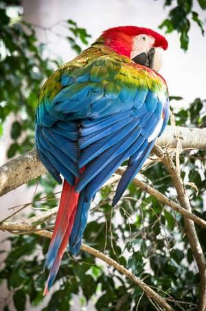 Arakanga (Ara macao) im Zoo