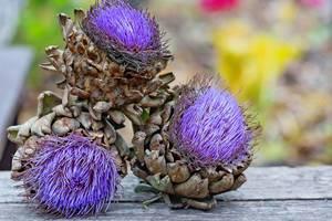 Artischockenfrüchte mit lila Blüten auf einem Holztisch