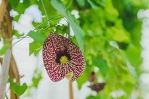 Asclepiadoideae Botanical Flower Close Up (Flip 2019)