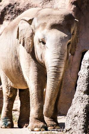 Asian elephant in a zoo