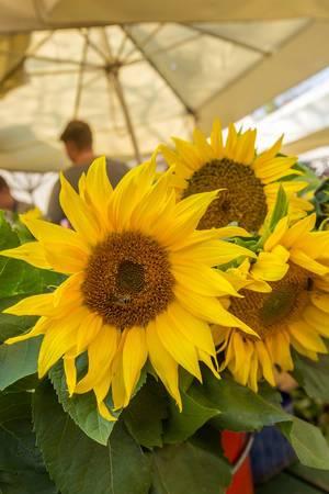 Auf dem Markt in Ljubljana, Slovenien - Sonnenblumen