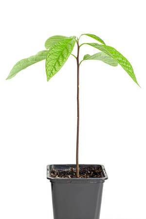 Avocado young tree in flower pot on white background