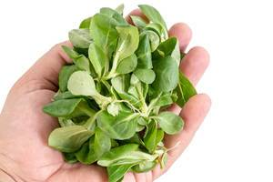 Baby Spinach in the hand above white background