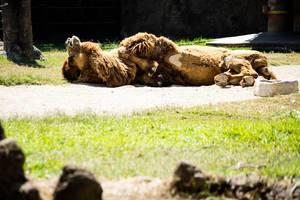 Bactrian Kamel, das unter der Sonne sich entspannt