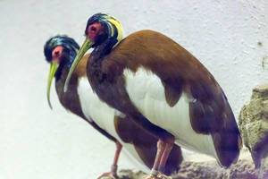 Bald Ibis / Waldrapp